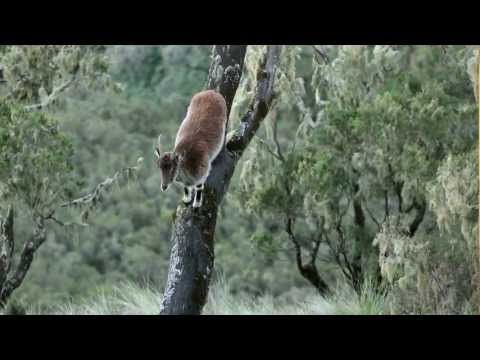 Walia Ibex - over 1% of the world's population? [with one up a tree!]