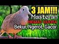 3 JAM MASTERAN PERKUTUT LOKAL BEKUR NGEROT | REKOMENDASI