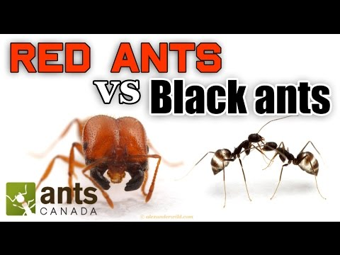 Thumbnail: WHO WINS: RED ANTS VS BLACK ANTS
