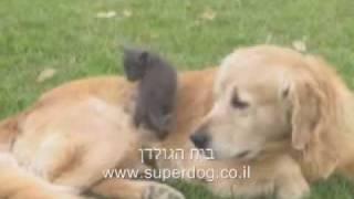 Kitten Attack Very Nice Golden Retriever Very Funny