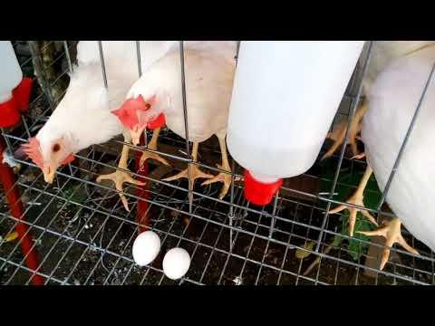 gallinas ponedoras primeros huevos/Laying hens first eggs