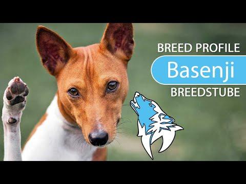 Basenji [2020] Congo Dog Breed, Temperament & Personality