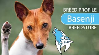 Basenji, Congo Dog Breed, Temperament & Training