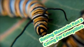 Raising Monarchs Part 3 - Caring For Caterpillars (How To Raise Caterpillars)