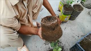 How to re-pot / trans-locate apple, apricot and date palm plants with 100% success rate