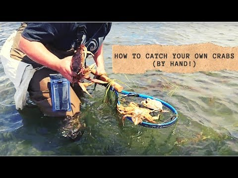 How To Find And Catch Dungeness Crabs By Hand!