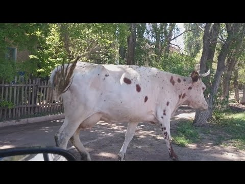 COWS DON'T GIVE TWO SHITS - Kazakhstan Trip Day 5