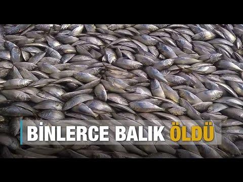 On Binlerce Balık ölü Bulundu