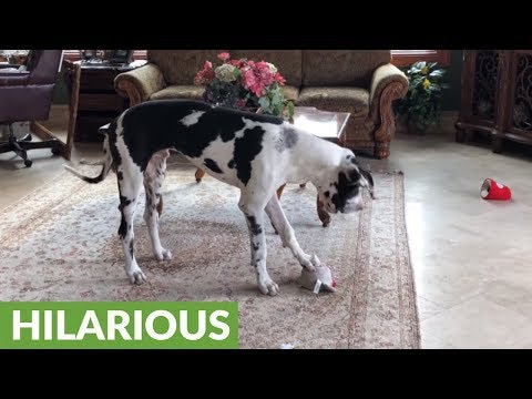 Squeaky toy sends Great Dane into howling fit