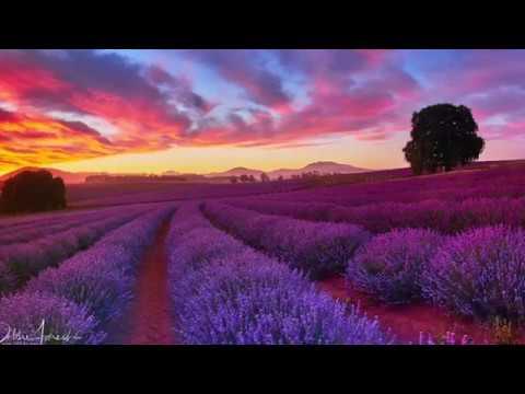 Lavender Farm - Tasmania
