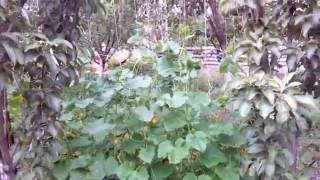 шпалера для огурцов/ trellis for cucumbers