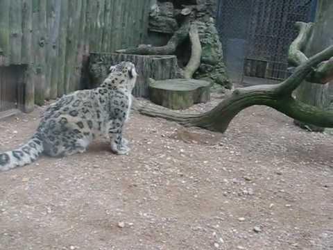 Kauno zoo snieginis leopardas youtube