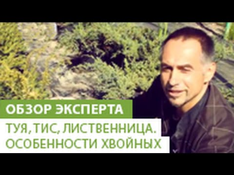 Лиственница / Хвойные / Энциклопедия растений / FloraPedia