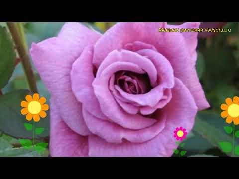 Роза плетистая Индиголетта. Краткий обзор, описание характеристик, где купить саженцы Indigoletta