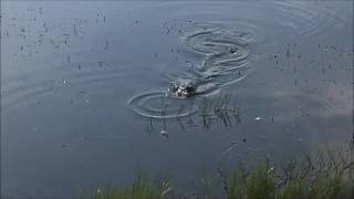 Alligator in Hotel Pond - HNS Outdoors, LLC | HNSOutdoors