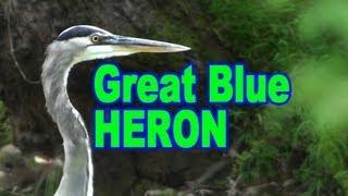 Great Blue Heron - HD Mini-Documentary