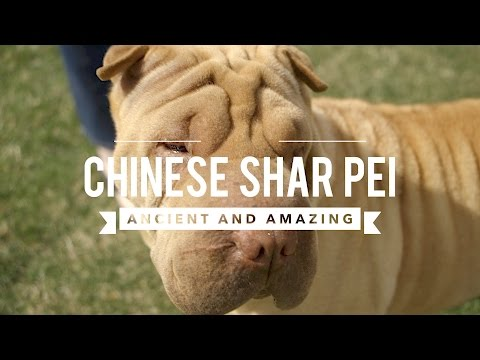 ALL ABOUT CHINESE SHAR PEI ANCIENT AND AMAZING