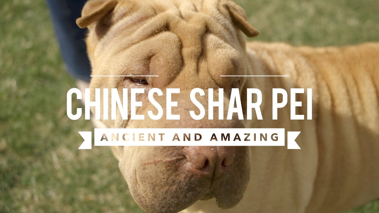 Shar Pei gyógyszer férgek ellen, Állatorvos válaszol Sharpei gyógyszer férgek ellen