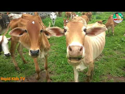Kids Cow Videos | Kids Cow Video With Mooing Sound Without Music | Kids Cow Videos For Kids & Parent