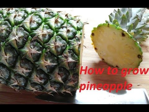 How To Grow Pinele From Seeds