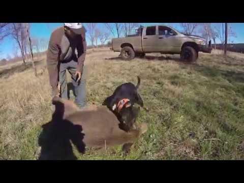 Single dog takes on 175 pound wild boar pig Texas