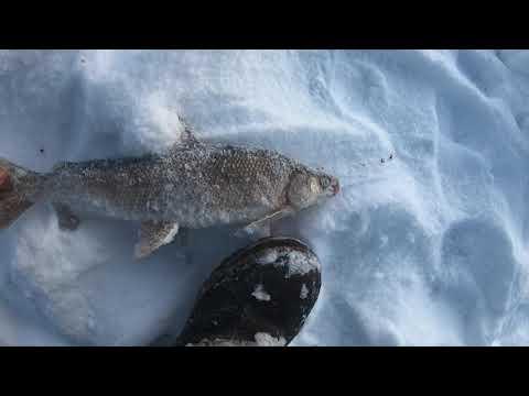 Interior Alaska Ice Fishing (RAINBOW TROUT And WHITEFISH)