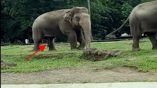🔴Mani Gajah Asli =gini  Proses perkawinan gajah