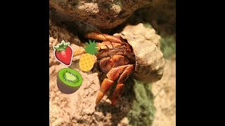 What Hermit Crabs Eat | FAQ