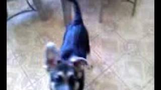 German Shepherd Puppy Training - Sit