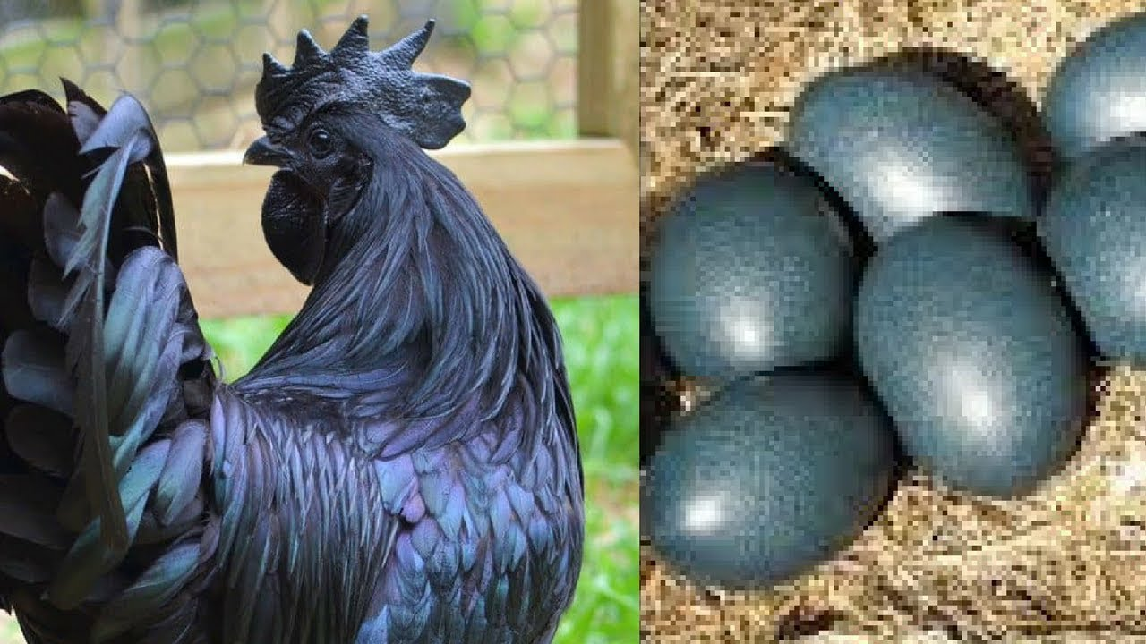 Image result for black chicken