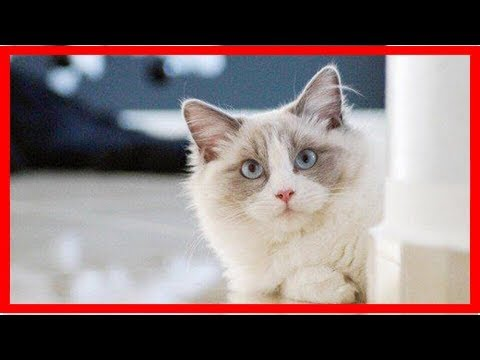 Ragdoll cat photos, breed information, and care