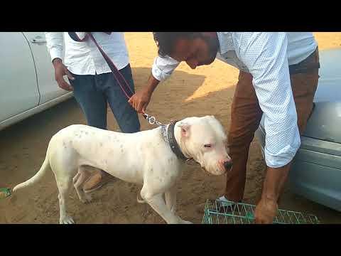 Dog Show Moga - Bhola Shola