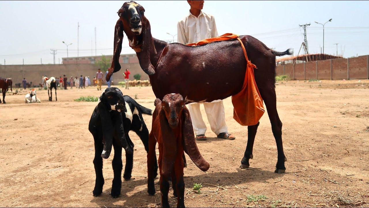 Nagri Amritsari Goats - Wajid Bhai Ki Bakriyan Shahpur Kanjra Mandi Lahore  2019