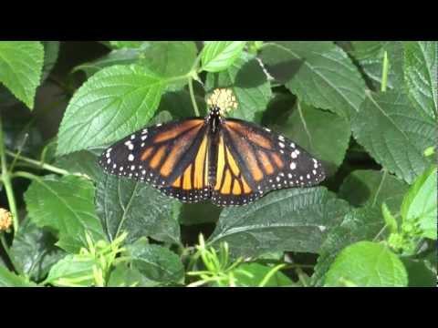 Les  papillons en liberté du Jardin Botanique de Montréal