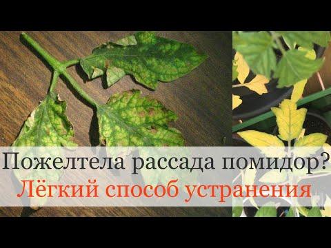 Почему желтеет рассада помидор? Лёгкий способ устранения! | рассадой | проблемы | рассада | помидор | желтеет | почему | с