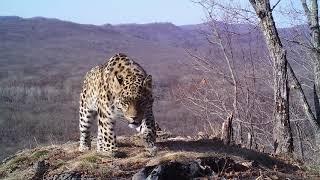 Четыре леопарда