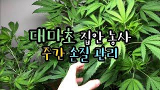 대마초 집안 농장 주간 관리 엿보기 / 수경재배 ppm…