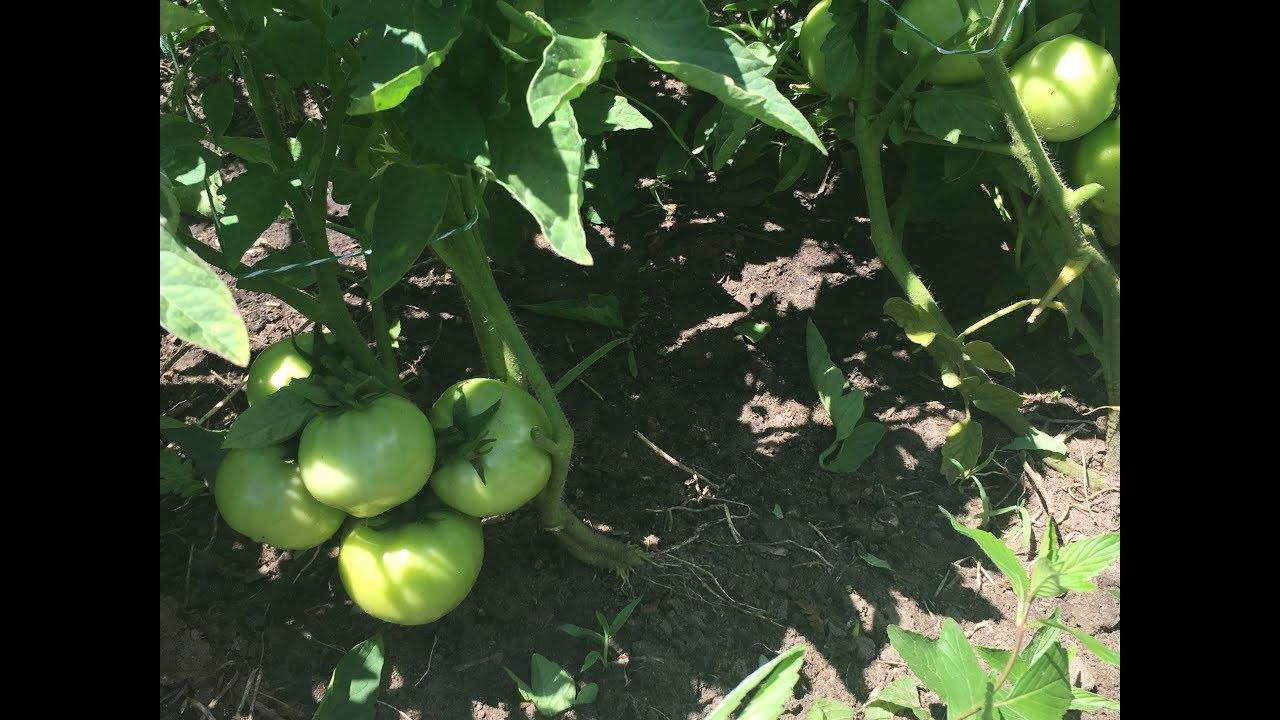 Обработка помидоров йодом как средство борьбы с фитофторой изоражения