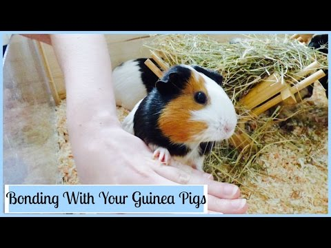 How to Bond with Your Guinea Pigs