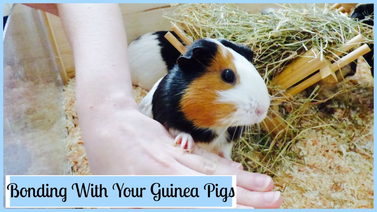 how to get to know your guinea pig