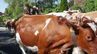 Inalpe en Suisse: Olivier accompagne ses vaches à l'alpage