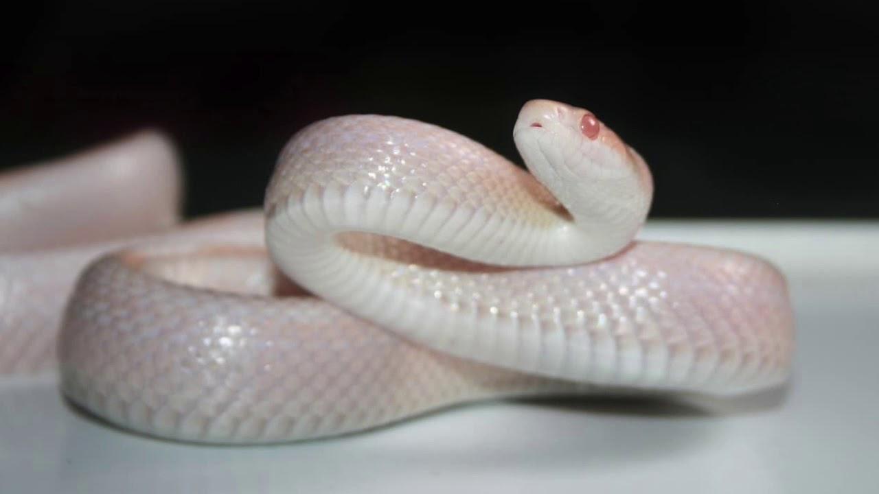 Dreaming Of White Snakes - Dream Interpretation & Meaning