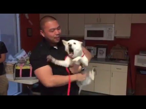 Shiba Inu reunited with her owner at Wags