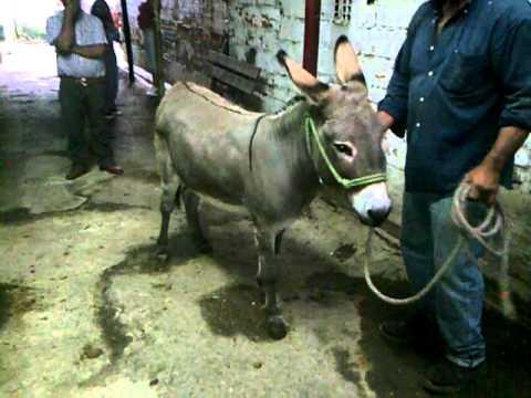 Burro Pony Pirulito 1