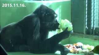 2015.11.16. 神戸市立王子動物園にて撮影。 Western Gorilla at Kobe Mu...