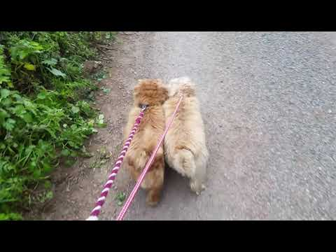 Woofy and Lacey Sheep watch Part 2 ( Norfolk Terriers).