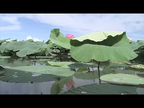 In barca tra i fior di loto sul lago di Mantova
