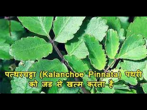 kidney Stone Remove Naturally by patharchatta # पथरी को दूर करे