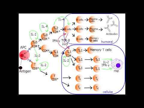 Helper T Cell - Th1 Cell & Th2 Cell