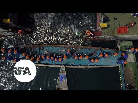Herding Carp on China's Thousand Island Lake | Radio Free Asia (RFA)